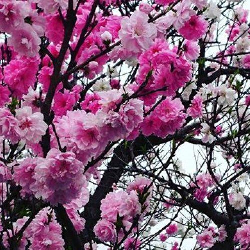 一本の桜の木に三色の花が満開。美しすぎる(近所で)