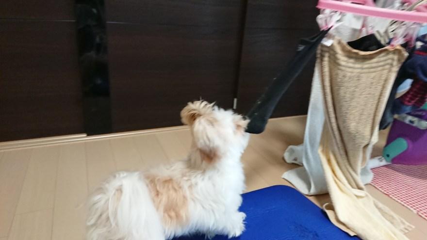 靴下引っ張るミックス犬