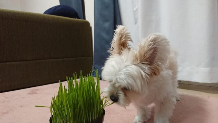 猫草食べるマイロ