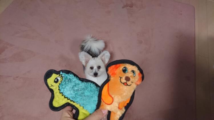 おもちゃを見上げる可愛いミックス犬画像