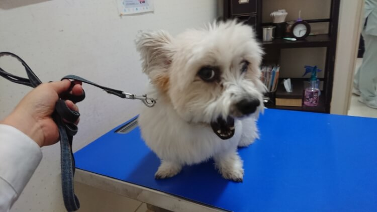 診察台の上のミックス犬