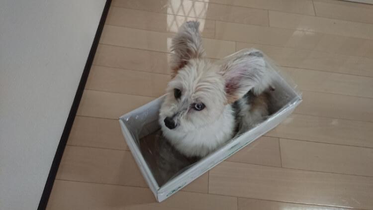 箱に入る犬