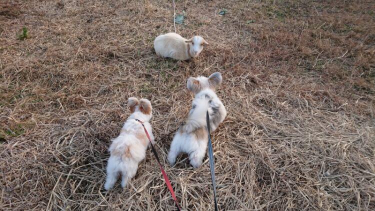 ミックス犬とヤギ