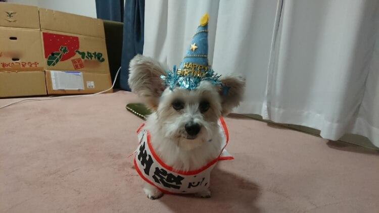 誕生日をお祝いされる犬画像