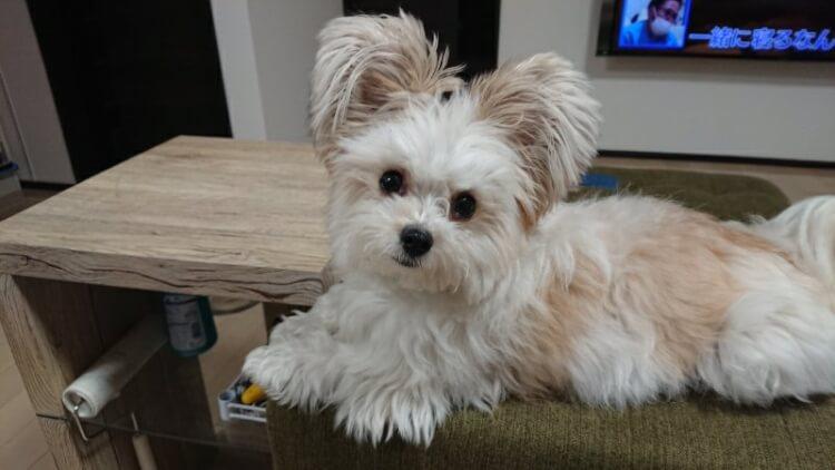 ソファーに座るミックス犬