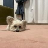 退屈でとろけてる犬