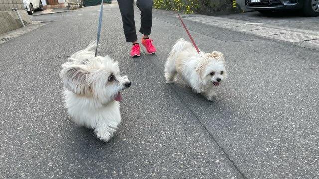 お散歩楽しむ二匹の犬