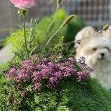 春を告げるコキアの苗と雑草で大渋滞の花壇