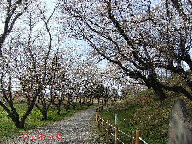 桜がきれいに咲いてます