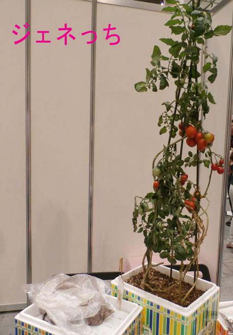 おうち畑で育てるトマト