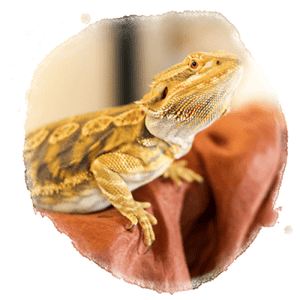 photo of a bearded dragon