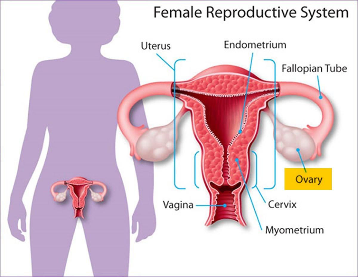 female-reproductive-system.jpg