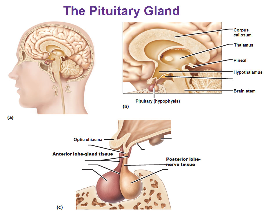 Pituitary-gland-anterior-lobe-posterior-lobe-hypophysis.jpg