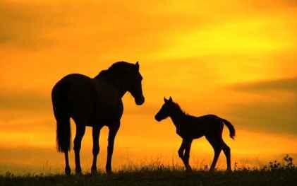 hd-paarden-wallpaper-met-een-groot-en-klein-paard-hd-paarden-achtergrond