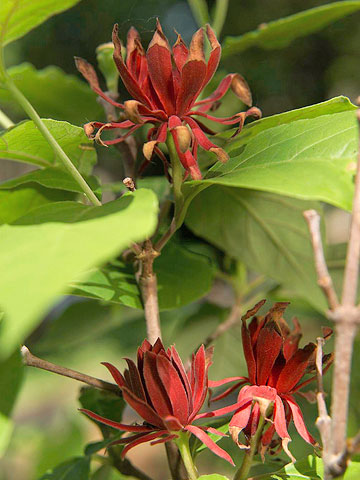 The 13 Best Summer-Blooming Shrubs