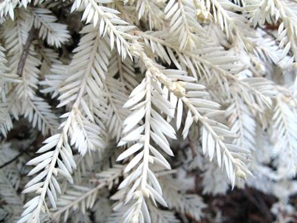 A Unique Outdoor Find: The Albino Redwood