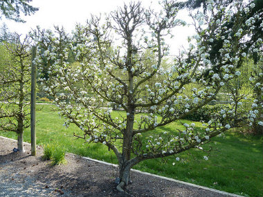 Espalier: Creating Art With Trees and Shrubs