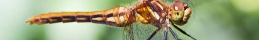 dragonfly header