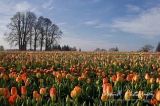 Wooden Shoe Tulip Farm; Woodburn, Oregon. On Meridian Rd
