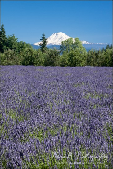 Hood River, Oregon is rich with Lavendar farms. This overlooks one field to see Mt Hood