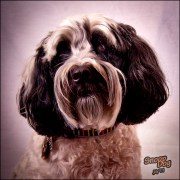 Snoop Dog, the Tibetan Terrier