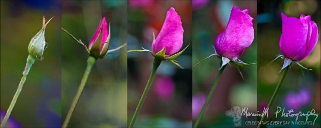 rose bloom opening