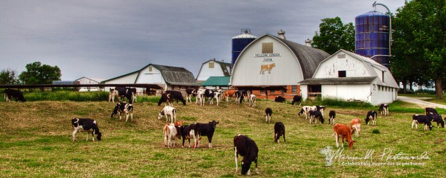 In 2010 brother Allen and I were driving Elkhart County roads looking for interesting farm barns when we chanced onto this one. I liked it so much that in 2012 I made sure to come back to it and found all these cows out. My lucky day!
