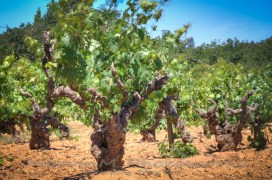 100 year old Zinfandel; Shenandoah Vineyards, California