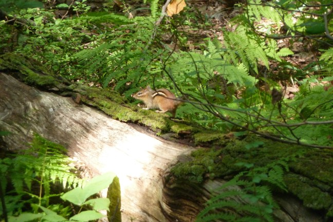 Chipmonk in Babcock Preserve in Greenwich CT