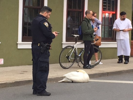 Swan and Police