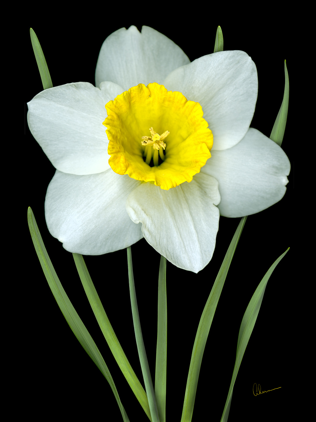 Single White Daffodil on Black Background