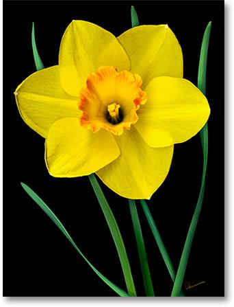 Digital Mixed Media Painting. Single Yellow Daffodil