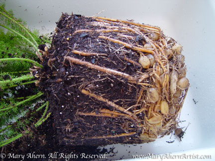 Asparagus fern compacted root mass March 2009