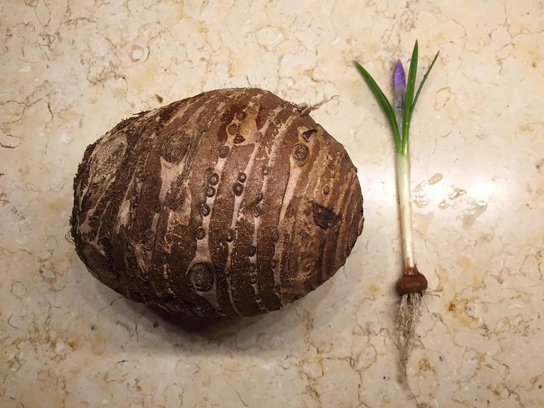 Photo of the corms of a colocasia and a crocus by the Artist, Mary Ahern