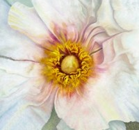 White Peony Squared Original Art by Mary Ahern. Flower Portraits