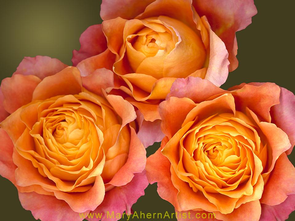 Free Spirit Rose