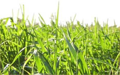 Whygrass