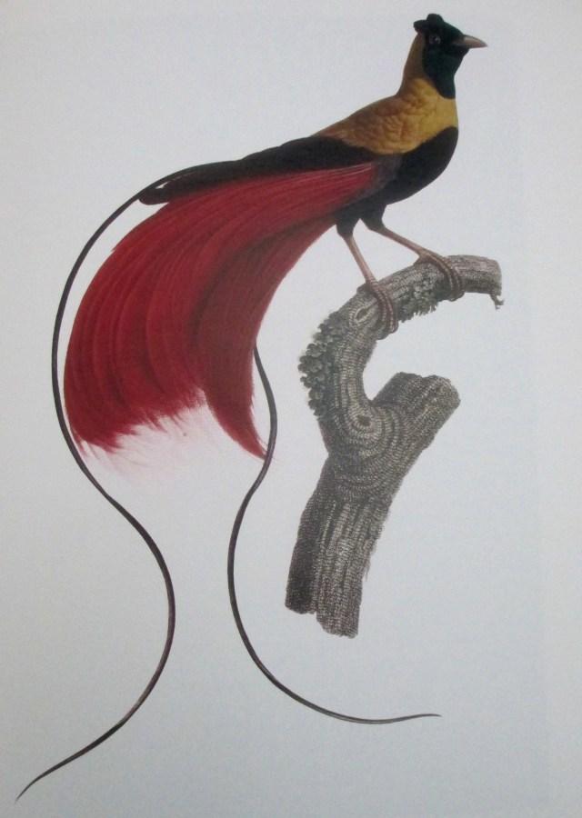Francois Le Vaillant | Bird of Paradise