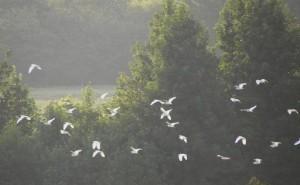 egrets2