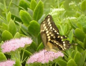 butterfly9-9-09