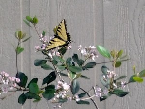butterfly on Indian Hawthorne