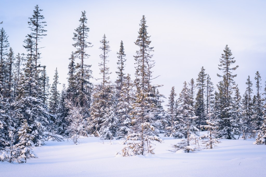 Bild på snötäckta träd i Åre - fotograf Ulrica Hallen