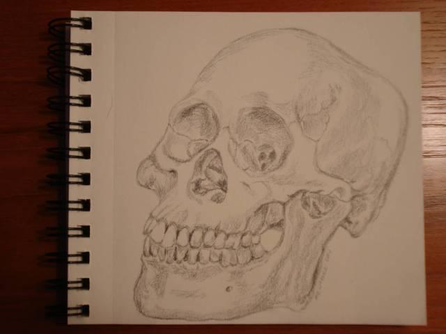 Skull study, pencil, Mary Warner, 12/14/2014.