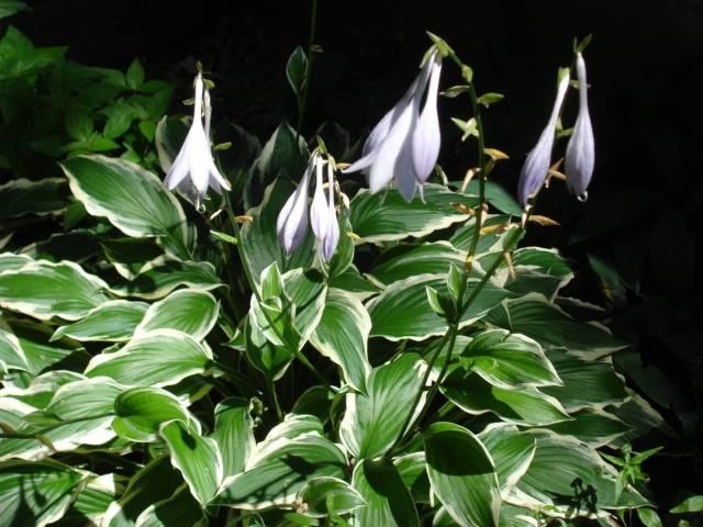 Flowering hosta, Mary Warner, July 26, 2015.