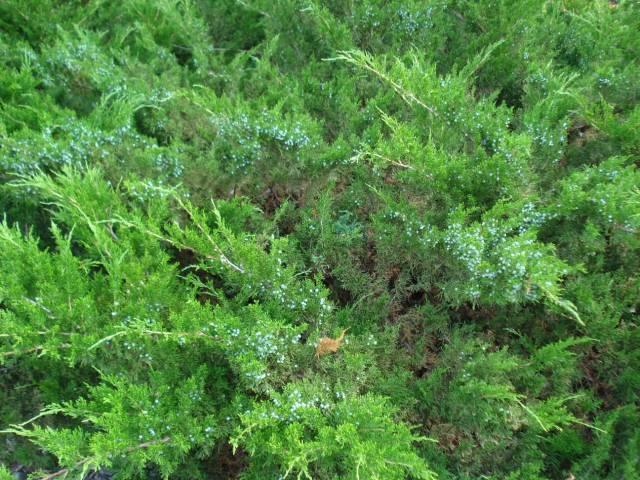 Evergreen bushes at neighbor's house, June 2015.