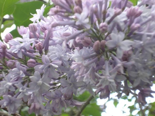 Lilacs, Warner yard, May 2016.