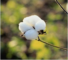 sustainable-cotton-project