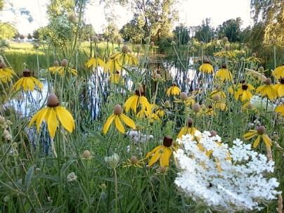 Native coneflowers in full bloom