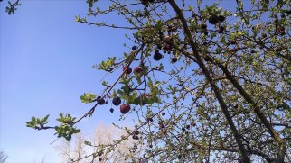 More buds and berries!