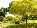 yellow-rain-trees-in-sentosa-golf-course